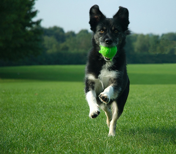 dog playing fetch